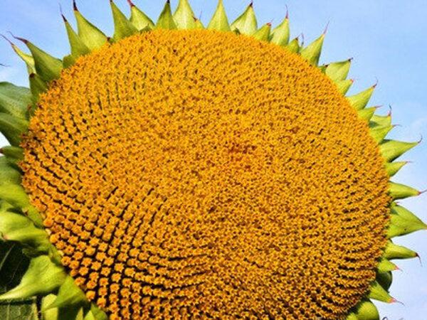 Семена подсолнечника НСХ 7258 (Раптор)