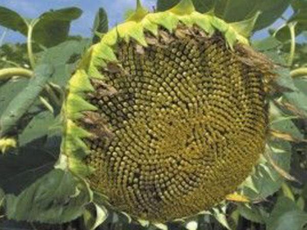Семена подсолнечника Анастасия ОР