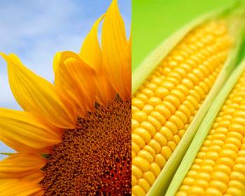Новые гибриды подсолнечника и кукурузы от Евралис