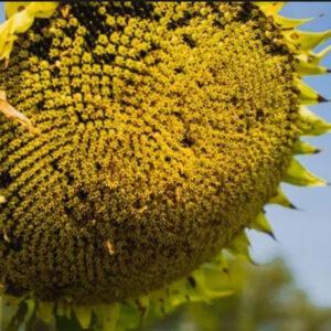 [:ru]Семена подсолнечника  НСХ 6045[:ua]Насіння соняшнику НСХ 6045[:]