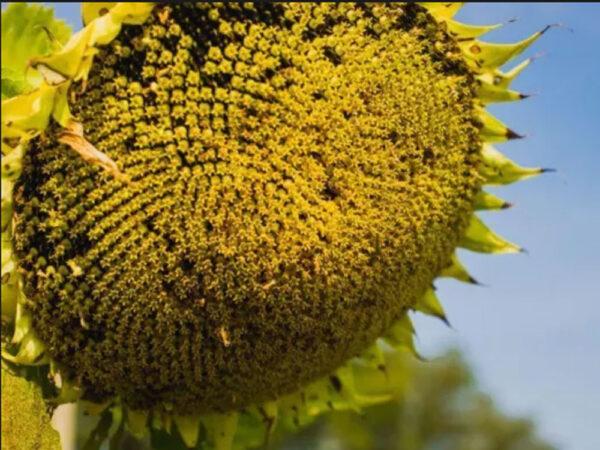Семена подсолнечника НСХ 6376 (Солярис)
