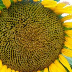 Семена подсолнчника НСХ 7256 (Пятый элемент)