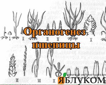 Органогенез пшеницы. Что следует знать