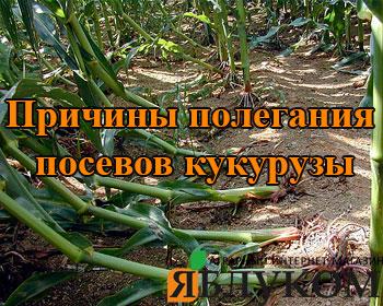 Причины полегания посевов кукурузы