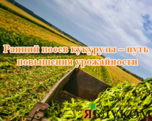 Ранний посев кукурузы – путь повышения урожайности