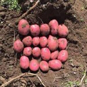 Семенной картофель Рустер