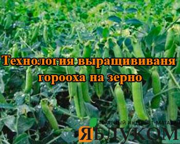 Технология выращивания гороха на зерно