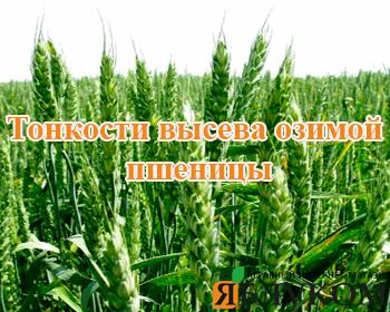 Тонкости высева озимой пшеницы