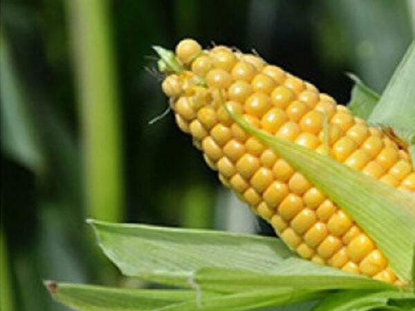 Семена кукурузы ДМС 2409