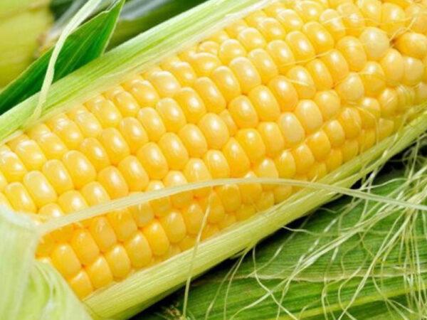 Семена кукурузы ДМС 3709