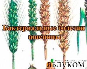 Бактериальные болезни пшеницы