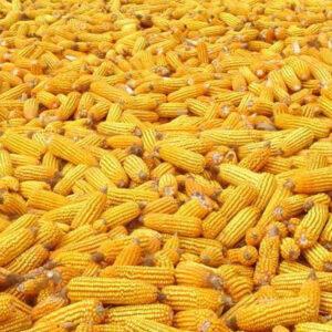 Семена кукурузы ДМС 4014