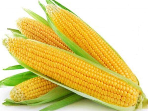 Семена кукурузы ДМС Тренд