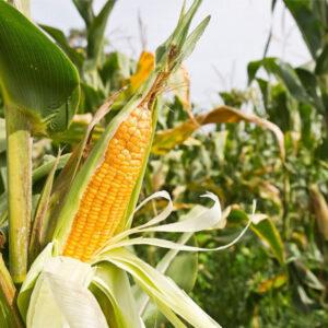 [:ru]Семена кукурузы Джекпот МС[:ua]Насіння кукурудзи Джекпот МС[:]
