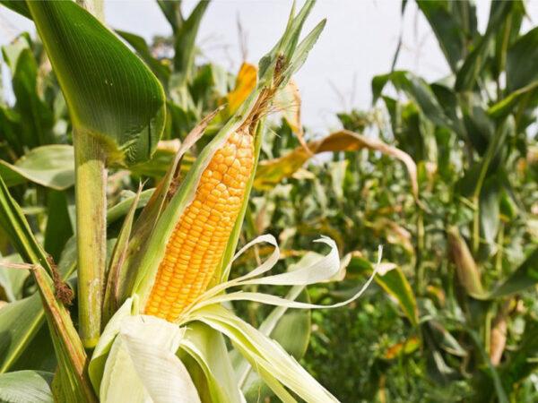 Семена кукурузы Джекпот МС