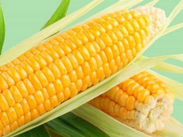 Семена кукурузы Лорд
