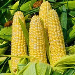 [:ru]Семена кукурузы Премия[:ua]Насіння кукурудзи Премія[:]
