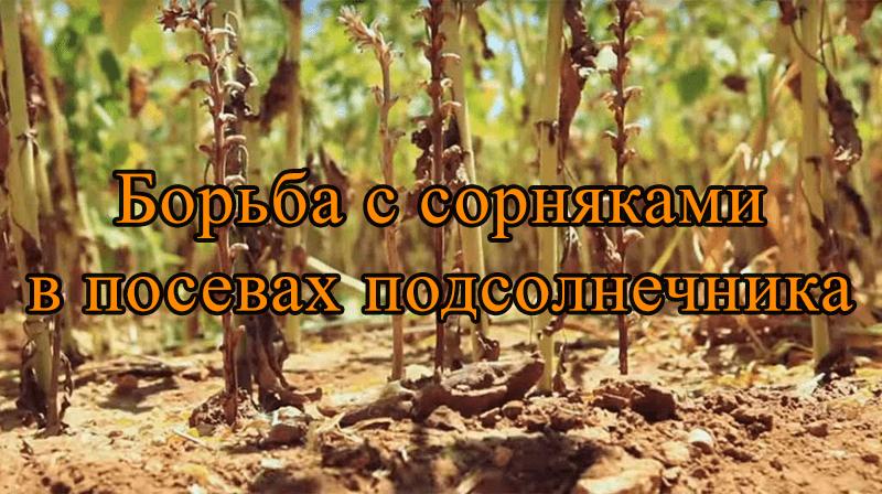 Борьба с сорняками в посевах подсолнечника