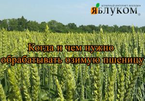 Когда и чем нужно обрабатывать озимую пшеницу