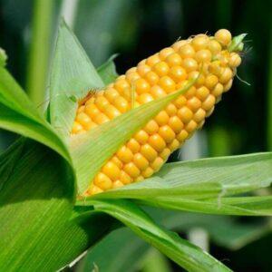 Сахарная кукуруза Санрайз