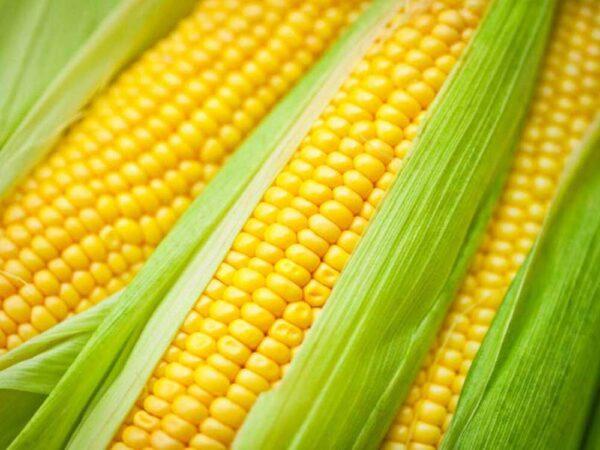 Семена кукурузы Турия