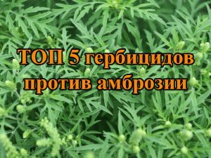 ТОП 5 гербицидов против амброзии