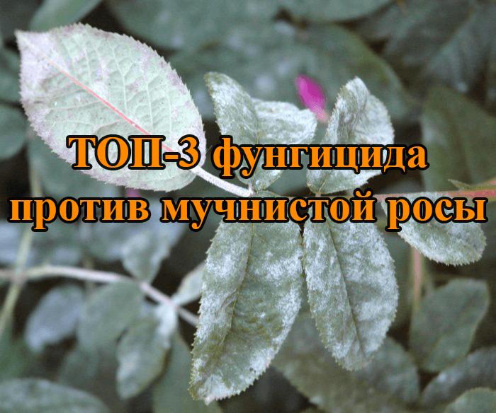 ТОП 3 фунгицида против мучнистой росы