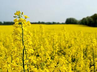 Купить семена озимого рапса в Украине, фото 2 - Яблуком