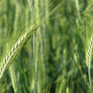 Семена озимой пшеницы Сталева