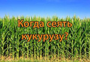 Когда сеять кукурузу?