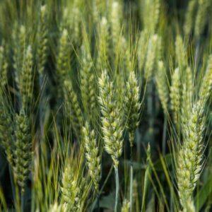 Насіння озимої пшениці НС 40 С