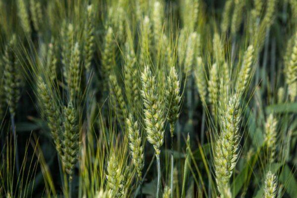 Семена озимой пшеницы НС 40 С