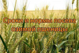 Сроки и нормы посева озимой пшеницы