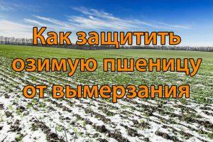 Как защитить озимую пшеницу от вымерзания