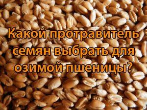 Какой протравитель семян выбрать для озимой пшеницы?