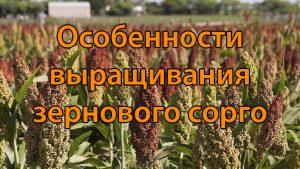 Особенности выращивания зернового сорго
