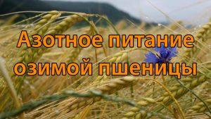 Азотное питание озимой пшеницы