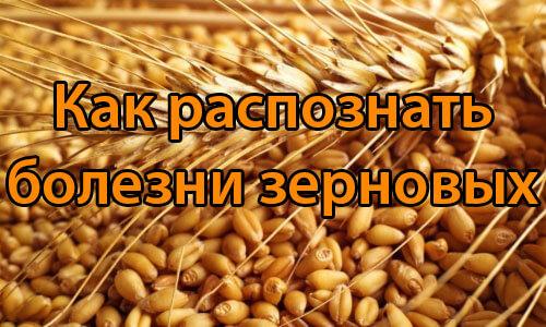 Как распознать болезни зерновых