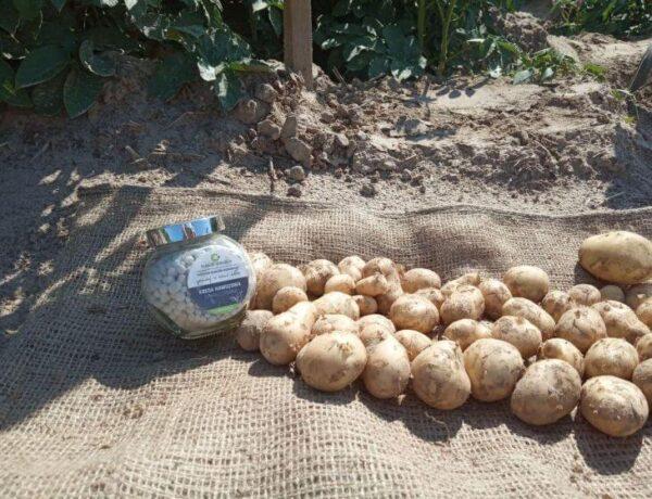 Семенной картофель Маверик