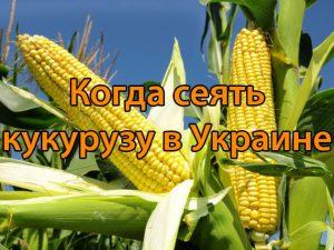 Когда сеять кукурузу в Украине