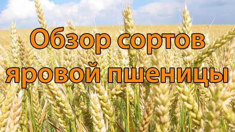 Обзор сортов яровой пшеницы