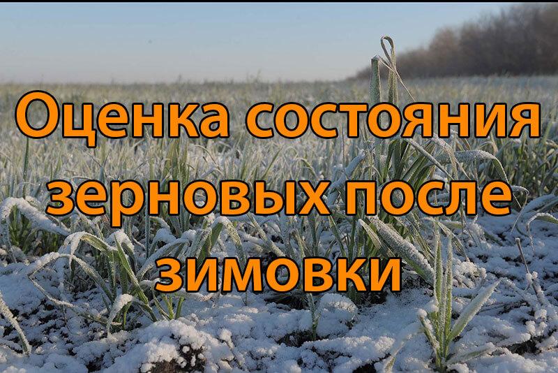 Оценка состояния зерновых после зимовки