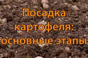 Посадка картофеля: основные этапы (2 часть)