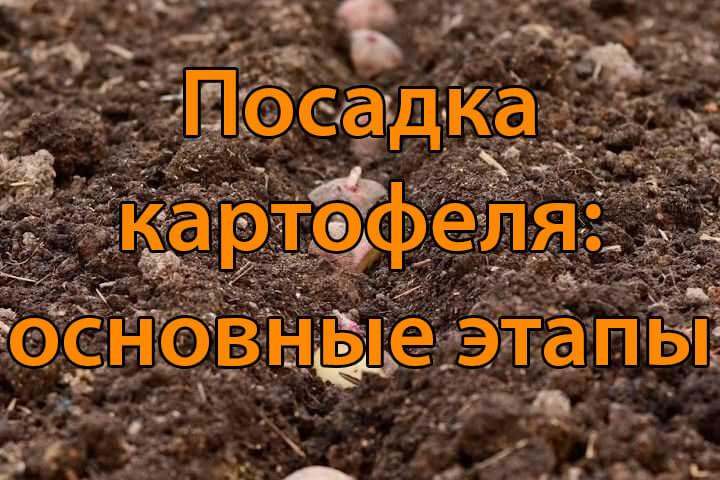 Посадка картофеля: основные этапы (1 часть)
