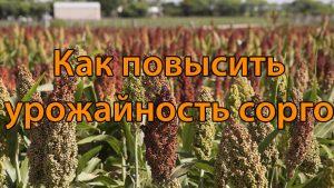 Как повысить урожайность сорго
