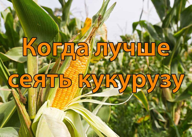 Когда лучше сеять кукурузу