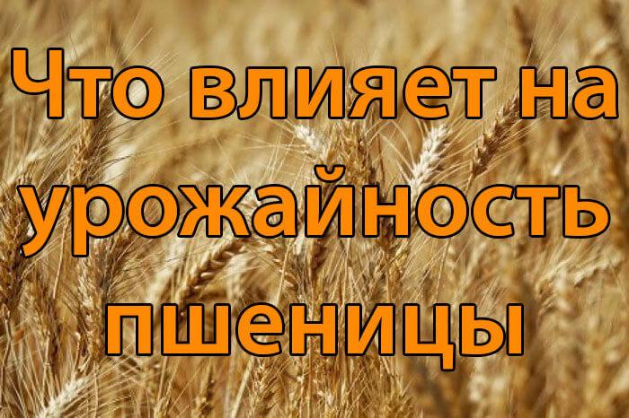 Что влияет на урожайность пшеницы
