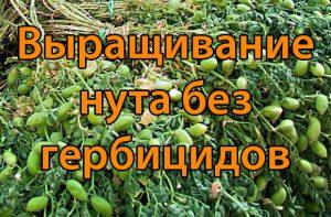 Выращивание нута без гербицидов (2 часть)