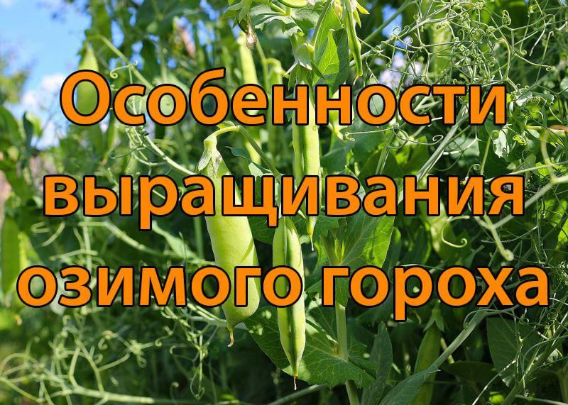 Особенности выращивания озимого гороха