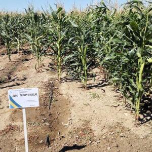 Семена кукурузы Хортица